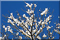 SJ3200 : Tree top snow by Dave Croker