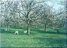 TQ8959 : Cherry Orchard near Bexon Crossroads, 1970 by John Baker