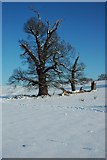 SO8843 : Trees in Croome Park by Philip Halling