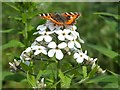 NS5871 : Small Tortoiseshell Butterfly (Aglais urticae) by Lairich Rig