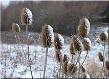SX9066 : Snowy teasels by Derek Harper