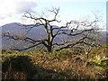 SH7721 : Snowdonia: Gnarled Oak by john shortland