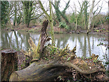 TG2407 : Tree stump on the bank of the River Yare by Evelyn Simak