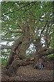 TQ6692 : A Pair of Pollards by Glyn Baker