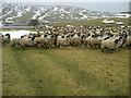 SD8869 : Hungry Sheep above Tennant Gill Farm by Chris Heaton