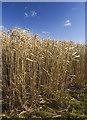 SE9853 : Tall grass, Southburn by Paul Harrop