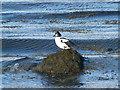 NH7895 : Goldeneye at Loch Fleet by sylvia duckworth