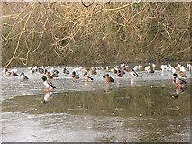TQ2255 : Ducks on Mere Pond by Stephen Craven