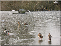 TQ2255 : Duck house on Mere Pond by Stephen Craven