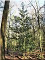 SJ7964 : Holly bush by Jonathan Kington