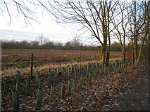 SU6349 : New hedge planting - Farleigh Road by Sandy B