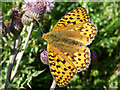 SS9147 : Fritillary butterfly at Selworthy Beacon by Phil Champion