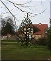 TQ5256 : Monkey Puzzle tree, Bradbourne Lakes by N Chadwick