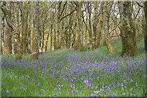 SH6129 : Bluebells at Dinas by Einir Pritchard