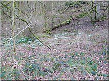 ST9326 : Snowdrops near Wardour Castle by Maigheach-gheal