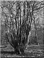 SU9693 : Coppiced beech, Hodgemoor Wood by Tim Harrison