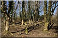 SX0884 : Late Winter Woodland by Tony Atkin