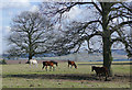 SO8280 : Grazing among the oak trees near Blakeshall, Worcestershire by Roger  Kidd