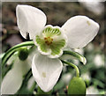 SJ7964 : Flower of the Snowdrop (Galanthus nivalis) by Seo Mise