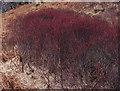 SD2297 : Dwarf birch trees (Betula nana) by Graham Cole