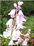 ST2896 : Pink Spanish Bluebells by David Roberts