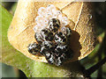 TR1436 : Insect larvae with egg cases by Andy Potter