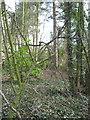 SJ6170 : Former footpath through woodland by Dr Duncan Pepper