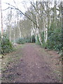 SJ6170 : Woodland walk with Silver Birches by Dr Duncan Pepper