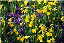SJ7243 : Daffodils at Bridgemere Garden World by Steve Daniels