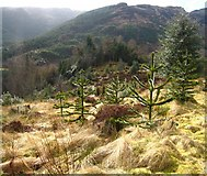 NS1385 : Benmore: a new Chilean forest by Martyn Gorman