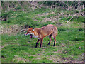 TQ3643 : Yawning Fox at British Wildlife Centre by Oast House Archive