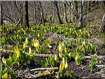 NS2209 : Yellow skunk cabbage growing by the Swan Pond, Culzean by Gordon Brown
