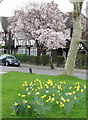 TQ1981 : Daffodils and cherry blossom, Hanger Hill Garden Estate by David Hawgood
