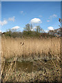 TM3899 : Reeds on the southern edge of Hardley Flood by Evelyn Simak