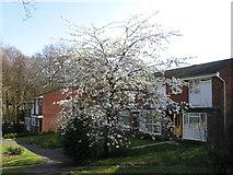 SU4016 : Prunus avium 'Plena', off Oakwood Drive by Alex McGregor
