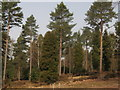 TQ7233 : Conifer trees in National Pinetum by David Anstiss