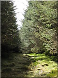 NY6176 : Firebreak in the plantation on Black Rigg by Mike Quinn