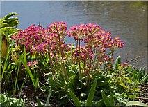 SX9050 : Primulas, Coleton Fishacre by Derek Harper