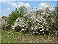 TL0359 : Hedgerow near Thurleigh Business Park by M J Richardson