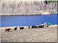 NN8659 : Cattle by Loch Tummel by Maigheach-gheal