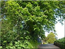 SX9164 : Chestnut tree, access lane, Lymington Road car park by Tom Jolliffe