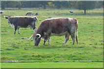 SJ5409 : Rare Breed Cattle at Attingham Hall by Anthony Parkes