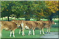 SJ5410 : Cows on the Driveway Attingham Hall by Anthony Parkes