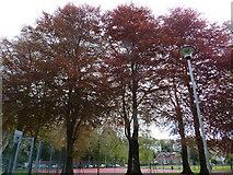 SX9164 : Three copper beech trees, Upton Park, Torquay by Tom Jolliffe
