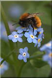 SJ3999 : Common Carder Bee (Bombus pascuorum), Melling by Mike Pennington