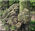 SJ7965 : Patterned Oak trunk by Jonathan Kington