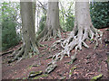 SJ8677 : Beech tree roots by Stephen Craven