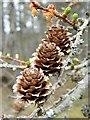 NJ3655 : Larch cones by Anne Burgess