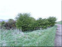 NZ5812 : Old hedge near Roseberry Topping. by Reece Fowler