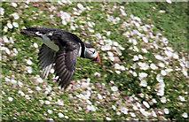 SM7304 : Puffin in flight by Bob Jones
